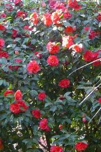 Piante acidofile - Gardenia pianta da giardino ...