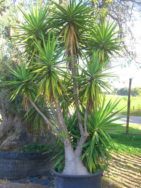 Vivaio vasta esposizione e disponibilita piante agavacee o for Piante da vivaio