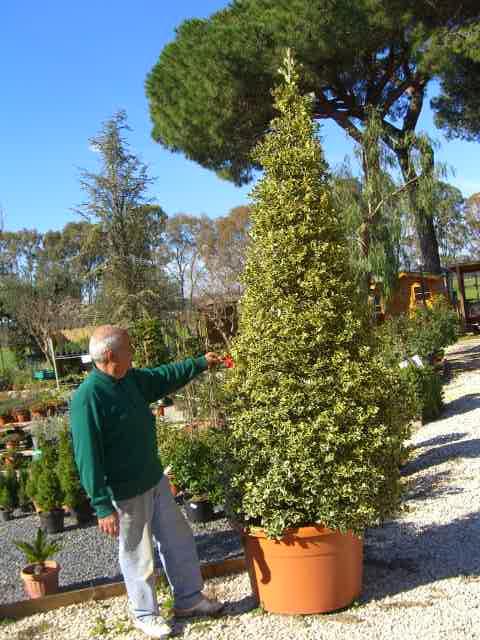 Agrifoglio Ilex Piante Arbusti Bacche Vivai Roma Vendita Pungitopo