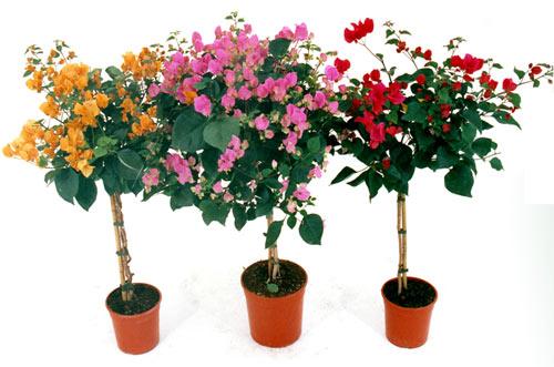 Bougainvillea arbusto rampicante siepe pianta da giardino for Pianta bouganville