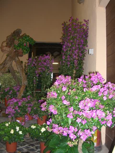 Bougainvillea arbusto rampicante siepe pianta da giardino for Bouganville fioritura
