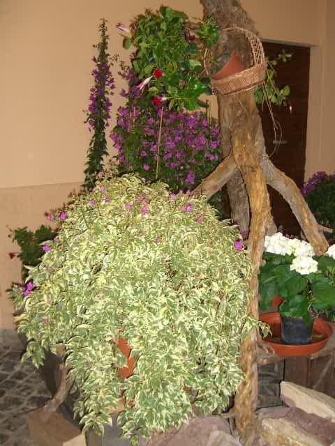 Rampicanti piante arbusti ornamentali fioriture vivaio for Conigliera da interno