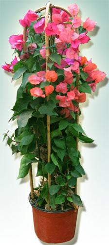 Bougainvillea arbusto rampicante siepe pianta da giardino for Bouganville in vaso