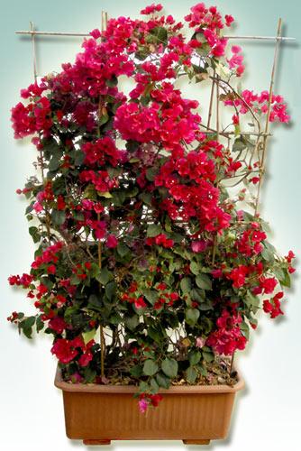 Bougainvillea arbusto rampicante siepe pianta da giardino for Piante rampicanti in vaso