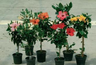 Hibiscus vivaio roma arbusti ibisco sinensis for Arbusti ad alberello