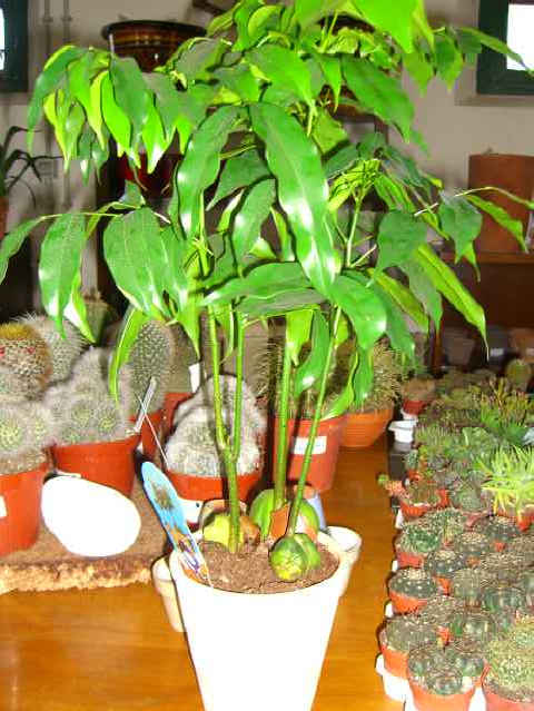 Piante interno anturium asplenium bilbergia caladium - Pianta schefflera ...