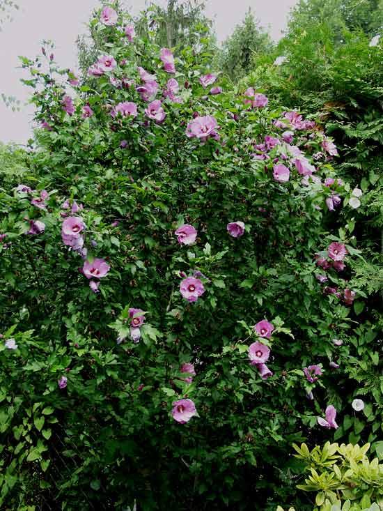 Arbusti da fiore piante ornamentali le loro fioriture for Hibiscus arbol