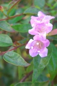 arbusti da fiore piante ornamentali le loro fioriture autunnali ...