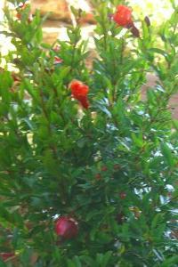 Arbusti da fiore piante ornamentali le loro fioriture for Piante da balcone resistenti al sole e al freddo