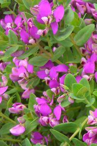 Arbusti da fiore piante ornamentali le loro fioriture for Cespugli perenni