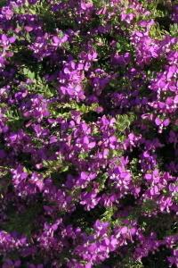 Arbusti da fiore piante ornamentali le loro fioriture for Cespugli fioriti perenni da giardino