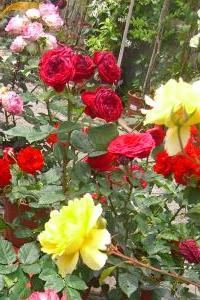Arbusti da fiore piante ornamentali le loro fioriture for Arbusti per aiuole