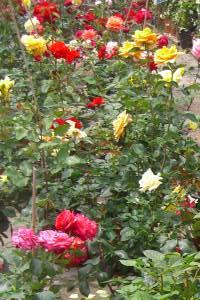 arbusti da fiore piante ornamentali le loro fioriture autunnali primaverili estive invernali