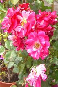Arbusti Da Fiore Piante Ornamentali Le Loro Fioriture Autunnali