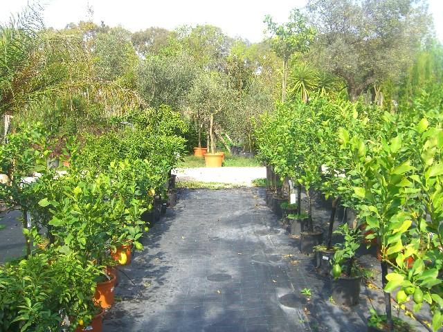 Piante agrumi vivaio roma agrumi limoni mandarini aranci for Vendita on line piante ornamentali da giardino