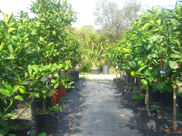 Coltivazione agrumi in vaso for Terriccio per limoni in vaso