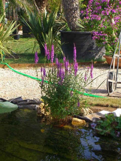 piante acquatiche ossigenanti palustri vivavio sommerse
