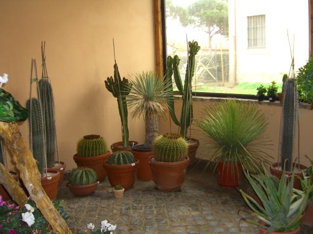 Grasse esemplari ferocactus dasylirium grusoni aloe agave for Piante colonnari