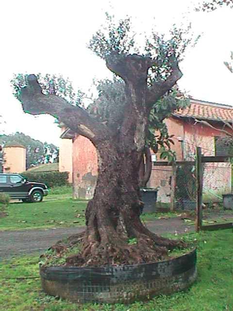 pianta ulivo da giardino