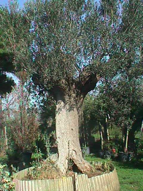 Olivo ulivi piante centenarie secolari esemplari unici for Gli alberi sempreverdi