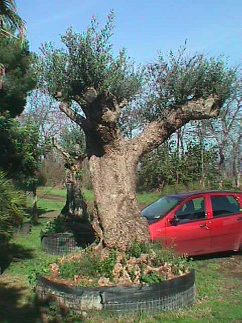 Olivo ulivi piante centenarie secolari esemplari unici for Vendita piante olivi