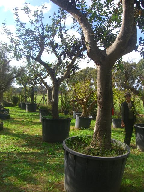 Carrubi secolari millenarie esemplari piante vendita for Vendita piante da giardino
