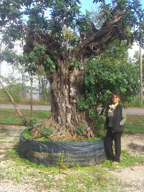 Carrubi secolari millenarie esemplari piante vendita for Alberi in vendita