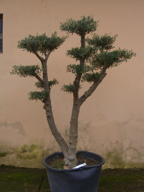 Olivi secolari ulivi olivi centenari vendita vivai roma for Vasi per bonsai prezzi