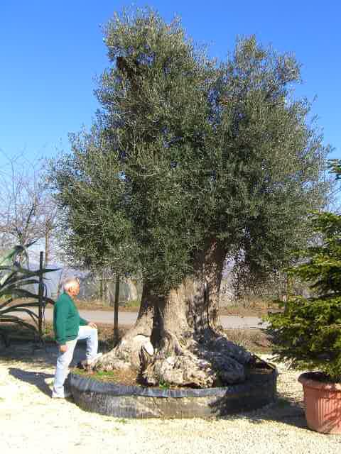 olivi secolari ulivi olivi centenari vendita vivai roma vivaio piante olea  europea pianta olivo