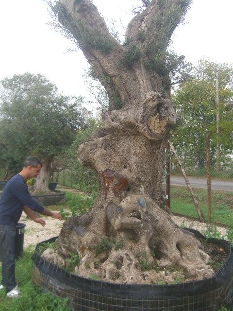 Olivi secolari ulivi olivi centenari vendita vivai roma for Aiuola con ulivo