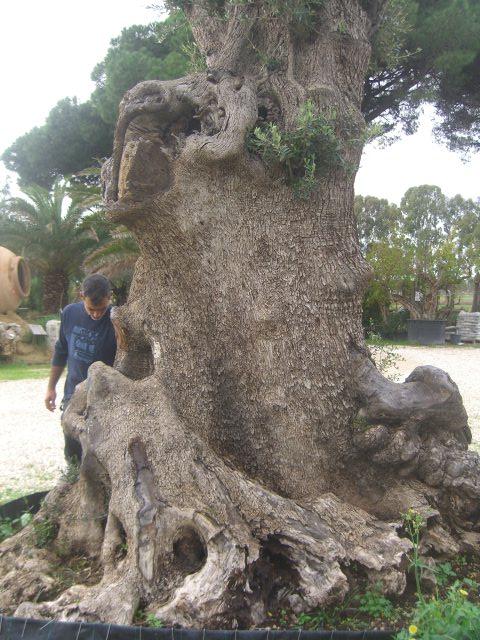 Piante Di Ulivo In Vendita : Olivi secolari ulivi centenari vendita vivai roma