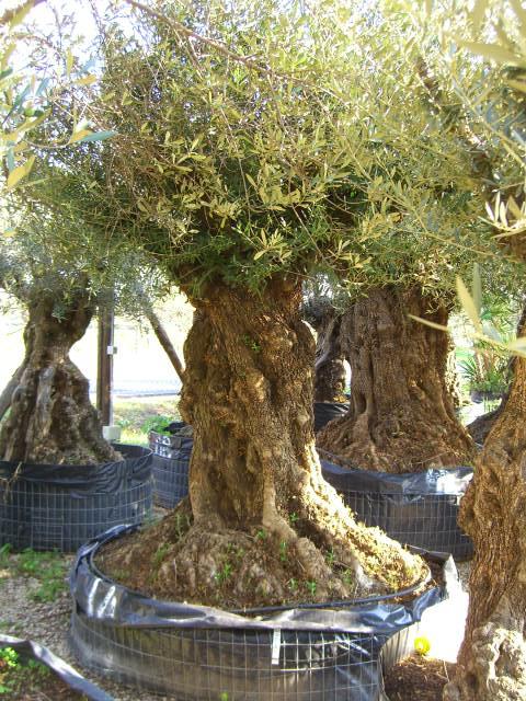 Olivi secolari ulivi olivi centenari vendita vivai roma for Vendita palme da giardino prezzi