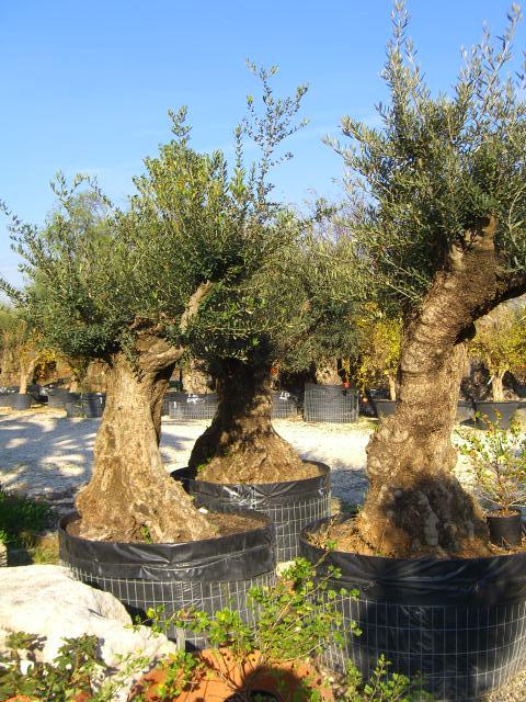 17 piante olivo prezzi piante di olivo da olio alberi - Siepe di ulivo ...