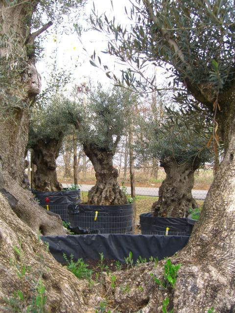 Search results for piante olivo prezzi black hairstyle for Bonsai olivo prezzi