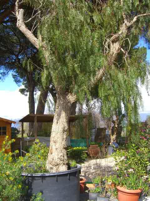 Schinus alberature viavaio piante alto fusto chioma for Alberi sempreverdi da ombra