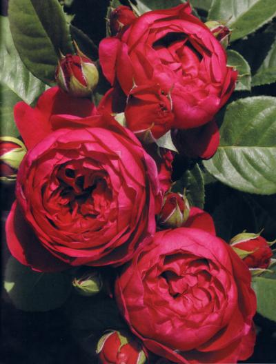 Fiori Tipo Rose.Rose Nostalgiche